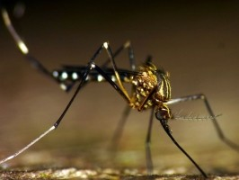 Mosquito, Culicidae